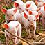 ДГК в животноводстве